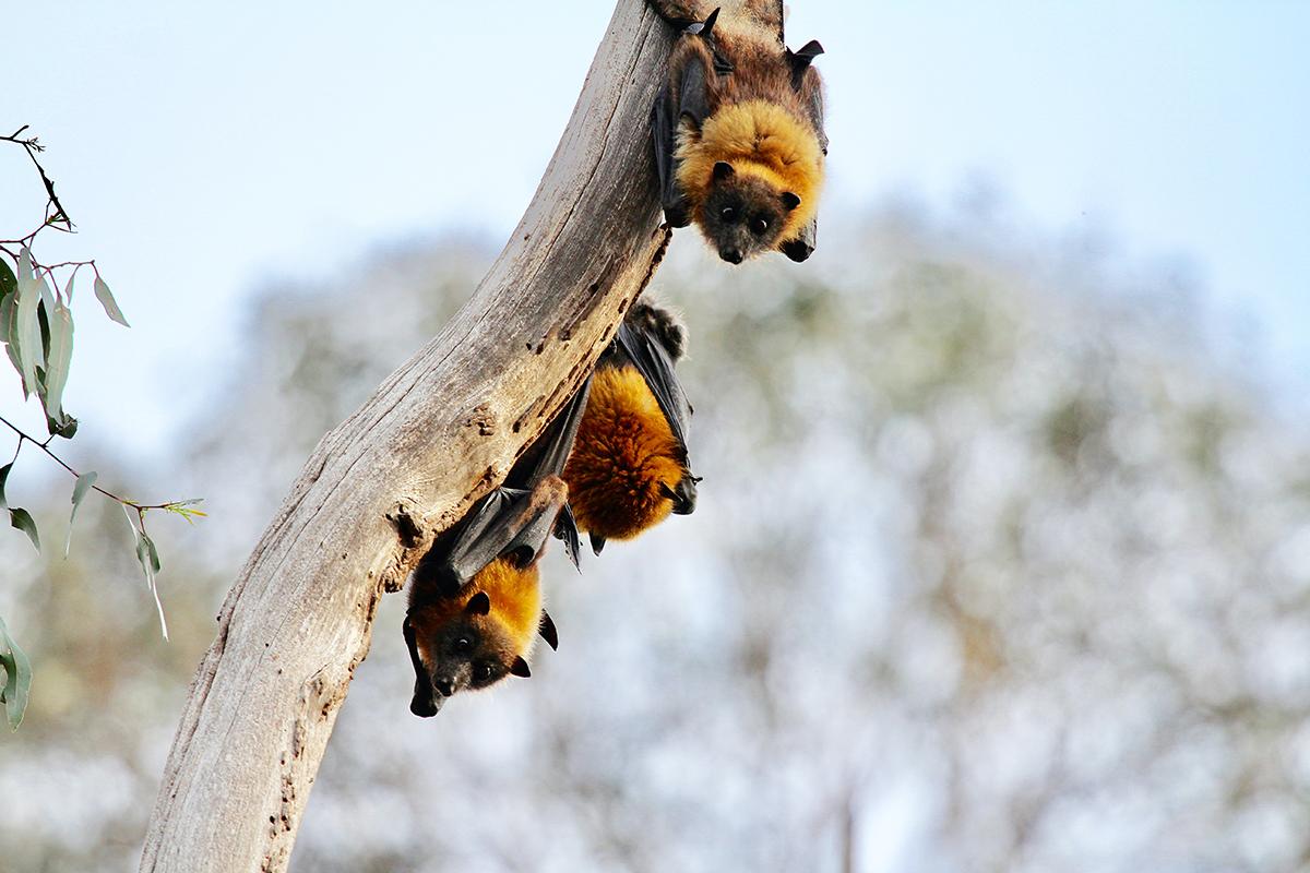 3 schattige vleermuizen in een boom