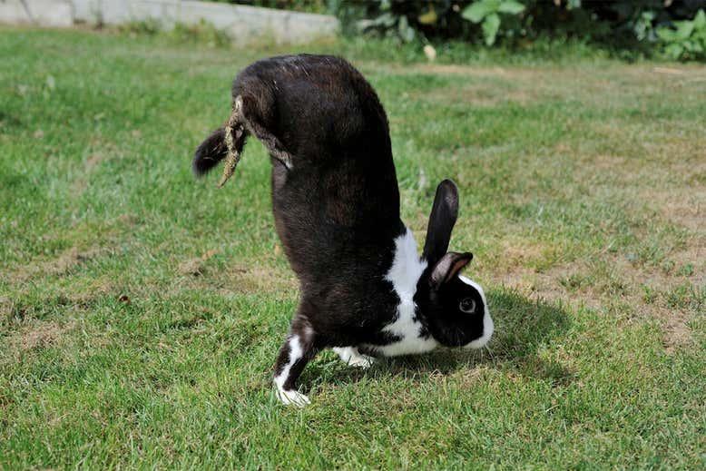 Het sauteur d'Alfort konijn